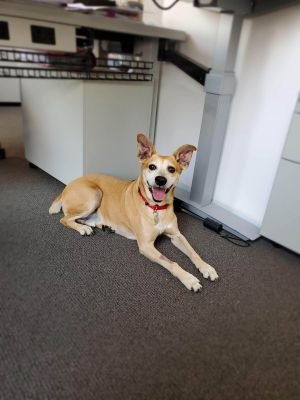 Meet Fiest a 8 year old 33 pound wonderful Feist mix He is friendly and gets along with other do
