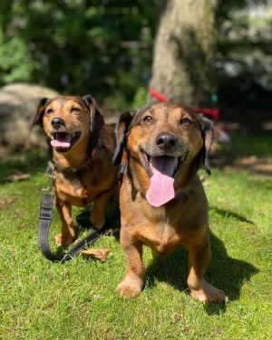 TO APPLY GO TO wwwLuckyDogRefugecom Meet Finn  Willa a bonded pair of 11 year Dachshunds looki
