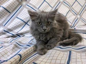 Morticia Domestic Long Hair Cat