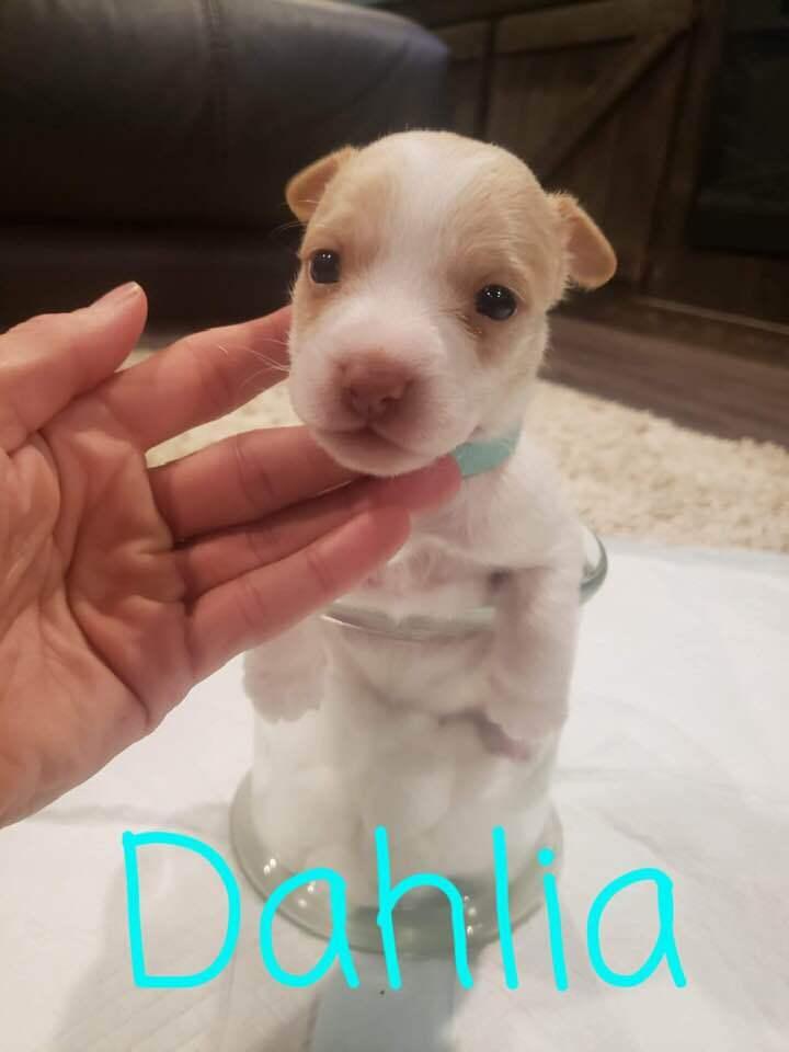 Dahlia 2