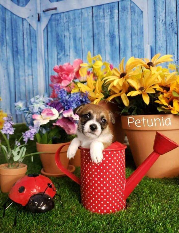 Petunia 1