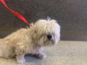 I1351354 Maltese Dog