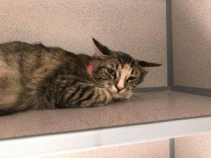 I1351248 Domestic Medium Hair Cat
