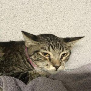 I1351254 Domestic Medium Hair Cat