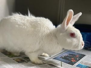 COTTON American Rabbit
