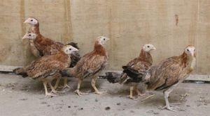 GINNY Chicken Bird
