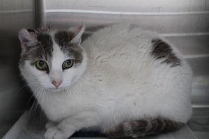 HARRY Domestic Short Hair Cat