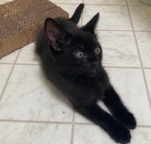 Edmund Domestic Short Hair Cat