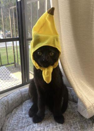 Percy Domestic Short Hair Cat