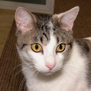 Frisse Domestic Short Hair Cat