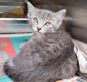 STELLA Domestic Short Hair Cat