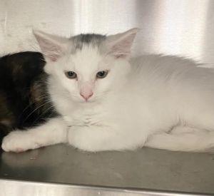 A1981438 Domestic Short Hair Cat