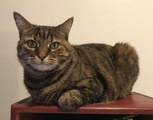 Kentucky Domestic Short Hair Cat