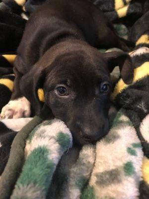 Harmony Labrador Retriever Dog