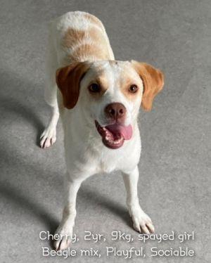 CHERRY Beagle Dog