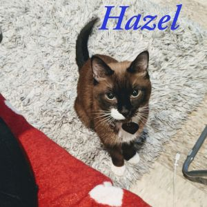 Meet Hazel- a wonderful and stunning snowshoe Siamese mix who loves humans so much she wants nothing