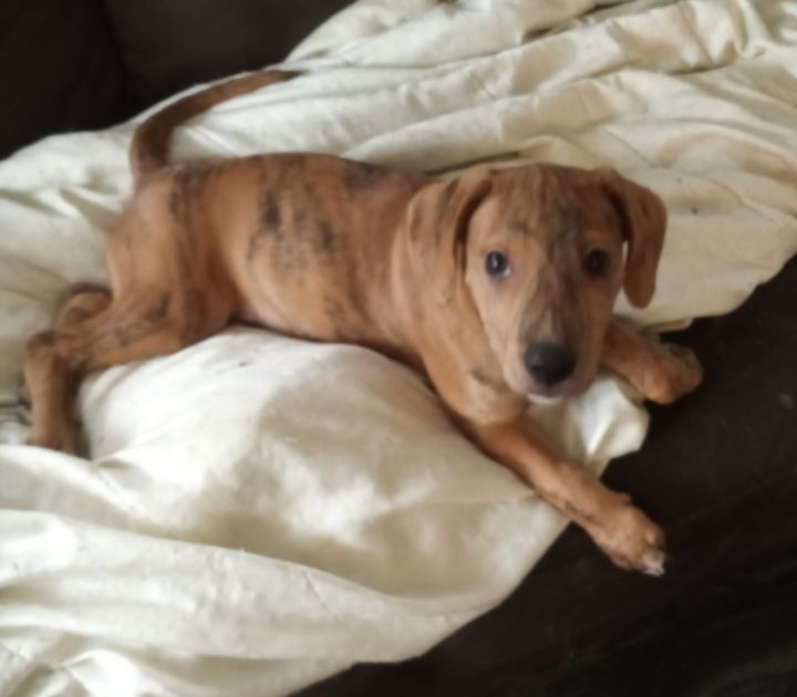 F5, an adopted Mountain Cur & Hound Mix in Pontiac, MI_image-1