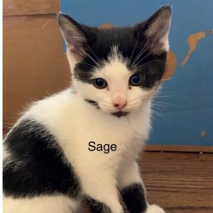 This adorable little kitten is Sage She is 10-weeks-old and ready to find her forever home She is