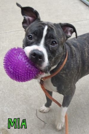 Mia A227564 Mia is a 1 year old female who came into the shelter on 517 as an owner surrender