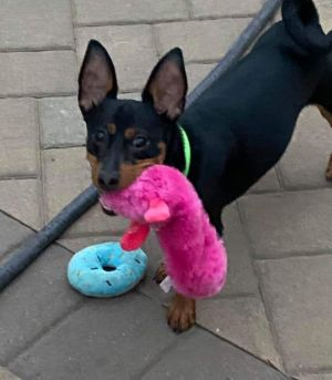 MEET JACK PUPPY ALERT He is a 8mth old Min-Pin and the total package Jack is neutered up to d