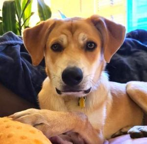 Kyle - 8 month old Lab mix Another dog in the home is preferred Needs a yard Kids over 12