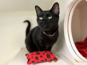 Primary Color Black Weight 66lbs Age 2yrs 9mths 1wks Animal has been Spayed