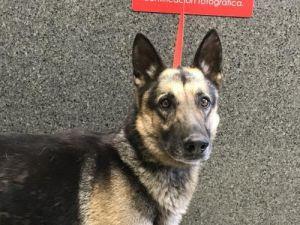 I1351424 German Shepherd Dog Dog