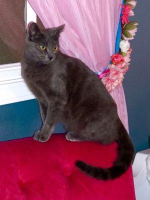 Raya (cf) Russian Blue Cat