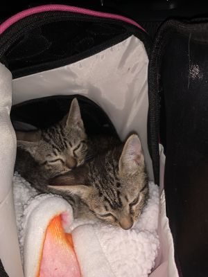 A delicious 10 week old brothersister duo Fun lovable and ready for action They are thriving in
