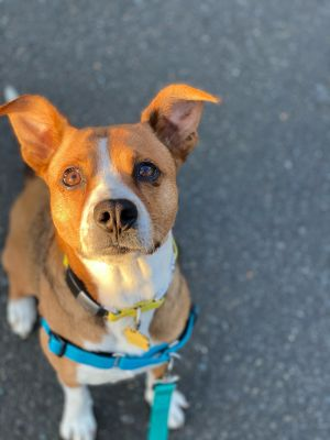 Meet Gracie shes a BeagleBoxer mix shes estimated to be 2 years old and shes about 25-30lbs