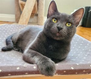 Moon  Mali are bonded 1 yr old sisters Moon Russian Blue and Mali Tuxedo put the sweet in swee