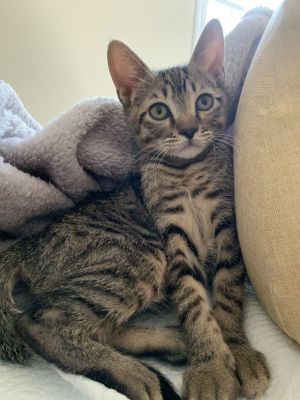 Cashew is a fun and playful 10 week old kitten He loves to play with his feather toy and is