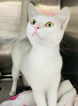 GRETA Domestic Medium Hair Cat
