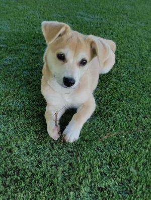 BANANA Corgi Dog