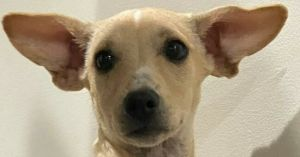 Lola is a four month-old ChihuahuaDachshund mix rescued from Puerto Rico If interested in adopting