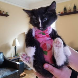 APPLICATION IS FIRST STEP Meet the Strawberry Kittens - Powder Kat Kitty Moo Moo and Mr Tibbs