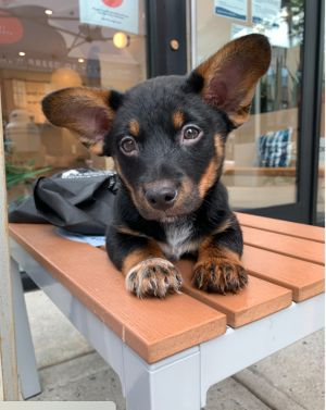 ROWAN 10 weeks old and 7lbs as of 6521 RottweilerCorgi Mix Neutered Male Estimated to be 4