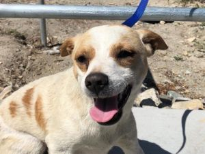 I1351477 Jack Russell Terrier Dog