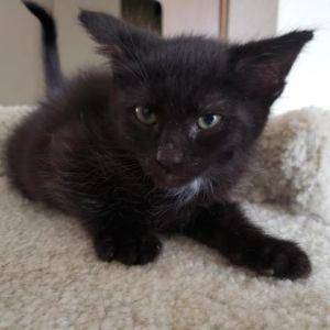 Jack Domestic Short Hair Cat