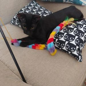 This adorable little girl is Hannah a 4-month old black kitten She is so sweet and loves to play a