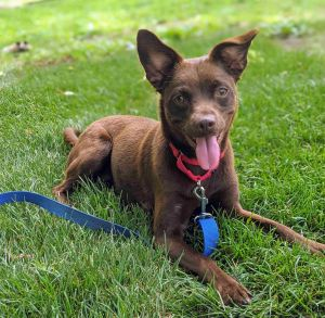 This adorable little girl is Cocoa She is 1-year-old and weighs just 23 lbs We are not sure of her