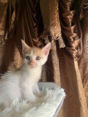 Thyme Domestic Short Hair Cat