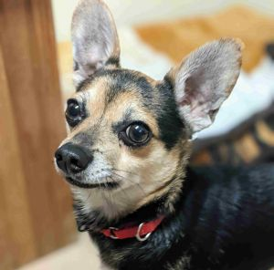 Meet Bailey an adorable little chihuahua mix looking for a loving home He is 2-years-old and weigh