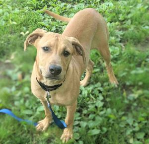 This adorable guy is Rizzo He is about one year old and weighs 42 lbs Our best breed guess is