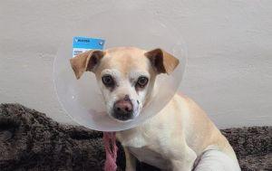 I1349113 Chihuahua Dog