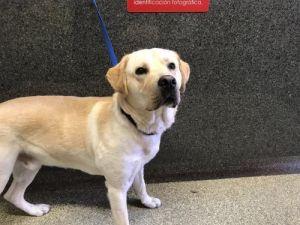 I1351503 Labrador Retriever Dog