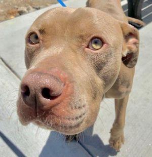 I1351507 Pit Bull Terrier Dog