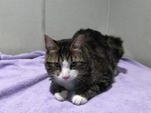 I1351530 Domestic Short Hair Cat