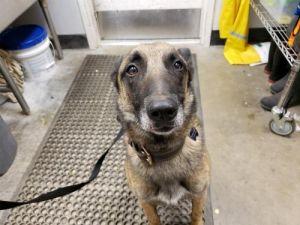 I1351542 Belgian Shepherd / Malinois Dog