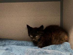 I1351531 Domestic Medium Hair Cat